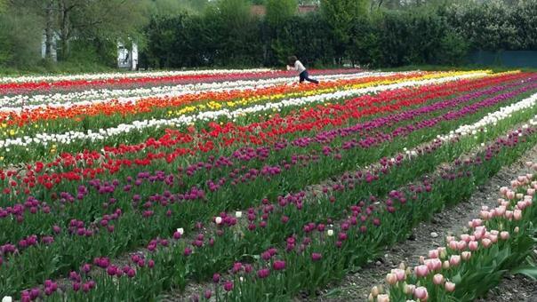 100 000 tulipes pour les enfants atteints de la maladie du cancer
