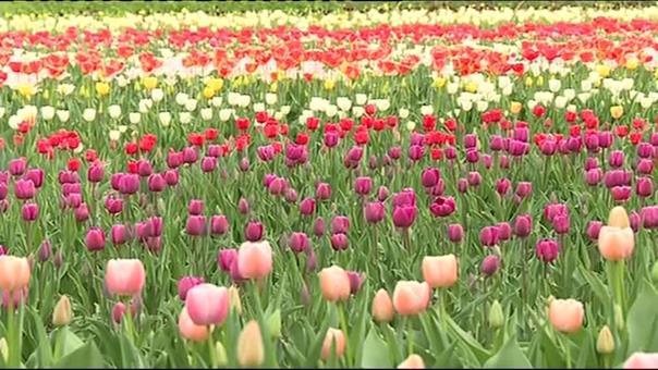 Opération 100.000 tulipes contre le cancer à Meylan, en Isère